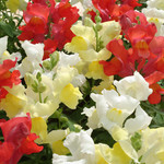 Jolly Farmer Mix Citrus Snapdragon