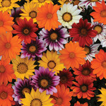 Jolly Farmer New Day Mix Gazania