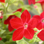 Jolly Farmer Nicotiana
