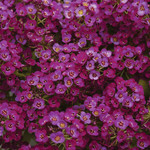 Jolly Farmer Purple Alyssum