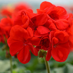 Jolly Farmer Bright Red Geranium