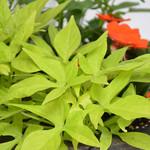 Jolly Farmer Flora Mia Limon Ipomea