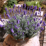 Jolly Farmer Hidcote Blue Lavender