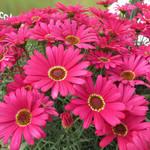 Jolly Farmer Grandaisy Dark Pink