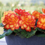 Jolly Farmer Fire Begonia