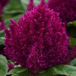 Jolly Farmer First Flame Purple Celosia