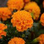 Jolly Farmer HotPak Orange Marigold