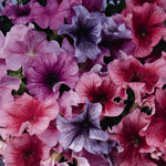 Jolly Farmer Daddy Mix Upright Petunia