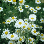 Jolly Farmer German Chamomile