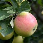 Jeffries Goodland Apple