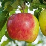 Jeffries Prairie Magic Apple