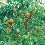 Jeffries Manchurian Strain Apricot
