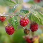 Aubin Wild Raspberry
