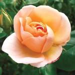 Jeffries Chinook Sunrise Rose