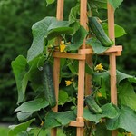 Vesey Seeds Patio Snacker Cucumber