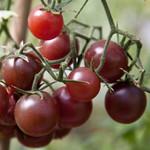 Vesey Seeds Chocolate Cherry Tomato