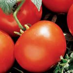 T&T Seeds Manitoba Tomato