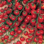 Vesey Seeds Sweet Million