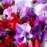 Royal Family Sweet Pea Mix