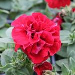 Selecta Dbl Wave Red Petunia