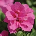 Selecta Dbl Wave Rose Petunia