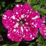 Selecta Headliner Pink Sky Petunia