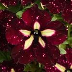 Selecta Headliner StarrySky Burgundy Petunia