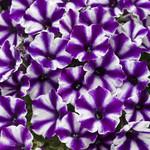 Jolly Farmer Supertunia Mini Vista Violet Star Petunia