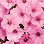 Proven Winner Bubblegum Vista Petunia