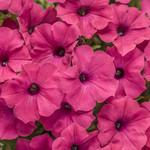 Proven Winner Fuchsia Vista Petunia