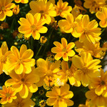 Jolly Farmer Golden Empire Bidens