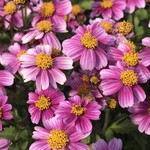 Jolly Farmer Pretty in Pink Bidens