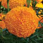 Jolly Farmer Bali Orange African Marigold