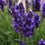 Jolly Farmer Blue Spear Lavender
