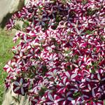 Jolly Farmer Burgundy Star Wave Petunia