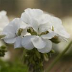 Jolly Farmer Calliope Med. White Geranium