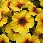 Jolly Farmer Caramel Yellow Petchoa