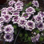 Jolly Farmer Compact Bicolor Purple