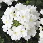 Jolly Farmer Compact White Verbena