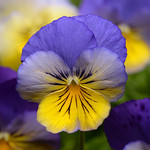 Jolly Farmer Cool Wave Morph Pansy