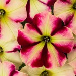 Jolly Farmer Crazytunia Raspberry Lemonade Petunia