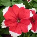 Jolly Farmer Dreams Red Picotee Upright Petunia