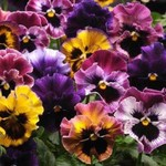 Jolly Farmer Frizzle Sizzle Mix Pansy