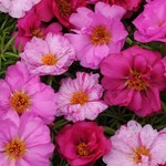 Jolly Farmer Happy Hour Pink Passion Portulaca