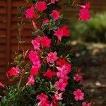 Jolly Farmer Hot Pink Mandevilla