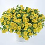 Jolly Farmer Lia Yellow Calibrachoa