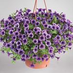 Littletunia Blue Vein Petunia