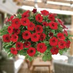 Littletunia Bright Red Petunia