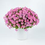 Littletunia Pink Frills Petunia