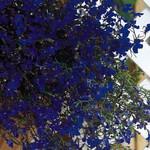 Jolly Farmer Midnight Blue Lobelia